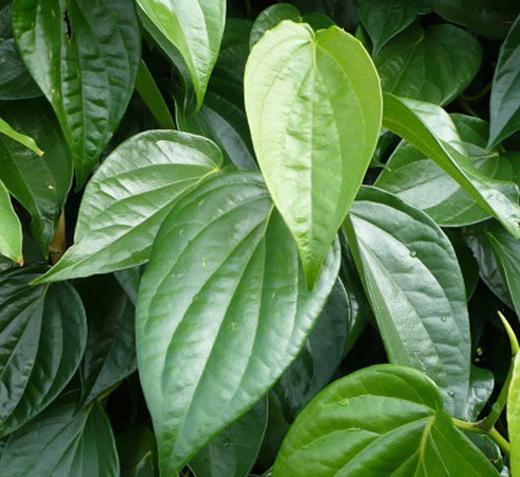 Image result for Lá trầu không