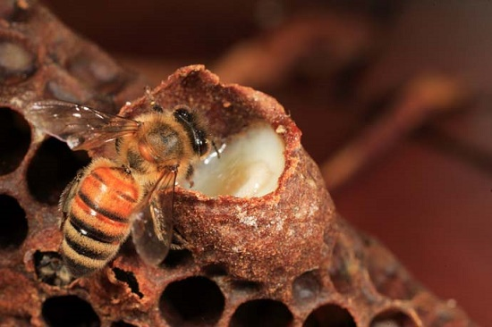 Une cellule royale emplie de gelŽe est inspectŽe par une abeille. La gelŽe royale est la clŽ du dŽveloppement de la colonie. Cette sŽcrŽtion mlŽe ˆ du pollen prŽdigŽrŽ provient des glandes pharyngiennes des jeunes nourrices. Elle reprŽsente une alimentation exceptionnelle qui offre une croissance des larves dÕabeilles sans Žquivalent dans le monde animal. La gelŽe royale permet ˆ la larve de voir son poids multipliŽ par 1 800 en cinq jours.